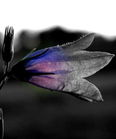 Bluebell dans la nuit de fin d'�t�