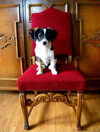 a puppy on an oak chair