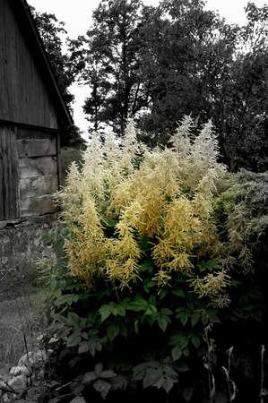 blanc brousse dans le vieux jardin Banque d'images