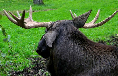 a large moose takes a rest