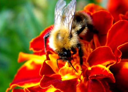 bourdon r�colte du nectar d'une fleur de souci