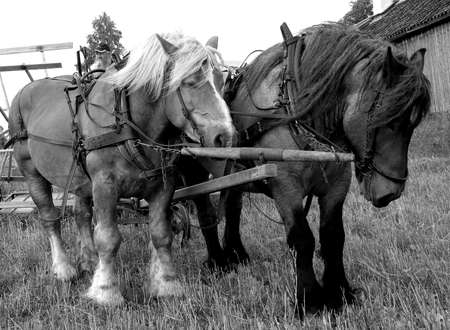 two horses working with harvest