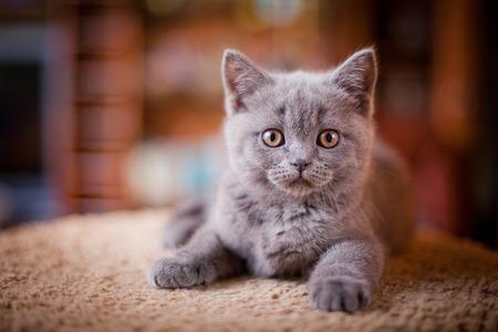 Leuke grijze kitten