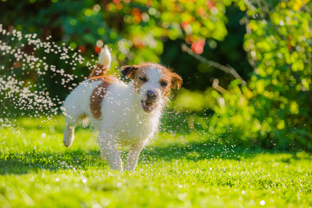 Dog Jack Russell Terrier  Summer sun splashes