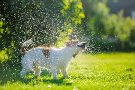 犬のジャック ラッセル テリア夏の太陽をはねかける