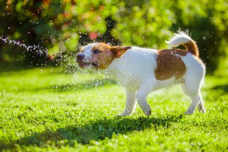 Pies Jack Russell Terrier Lato plamy słoneczne