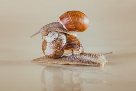 grape snail: mollusks grass slime, the grape snail Bright shell creeps