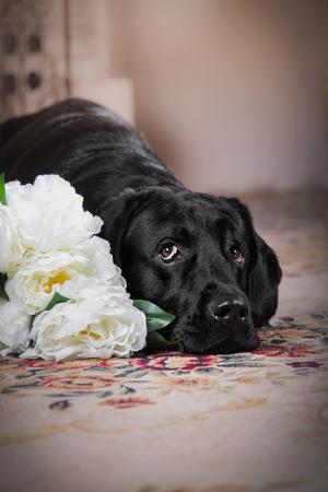Most Inspiring Labrador Black Adorable Dog - 31633840-cute-dog-with-a-flower-dog-breed-labrador-retriever-black  Snapshot_696747  .jpg?ver\u003d6