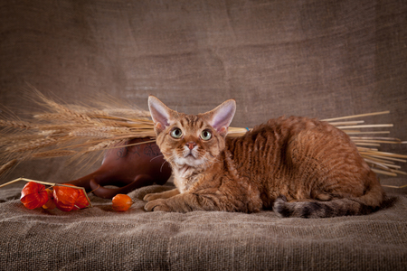 Cat Devon Rex red country style photo