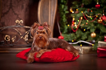 Holidays tree, dog breed yorkie terrier in a beautiful fairy interior photo