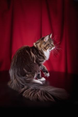 The biggest Maine Coon cat in studio photo