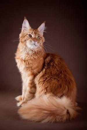 The biggest Maine Coon cat in studio Stock Photo