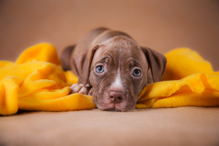 pit fall: Terrier puppy