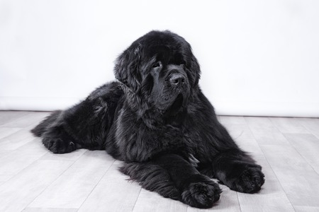 adult Newfoundland in studio by the fireplace Banco de Imagens