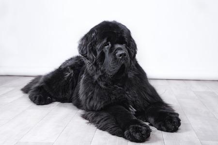 newfoundland dog: adult Newfoundland in studio by the fireplace Stock Photo