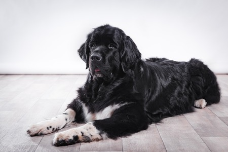 adult Newfoundland in studio by the fireplace photo