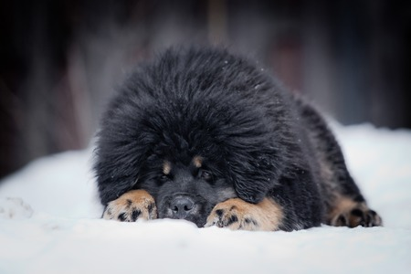 Tibetan Mastiff puppy dog playing in the snow portrait