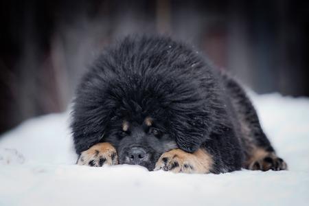 Tibetan Mastiff puppy dog playing in the snow portrait