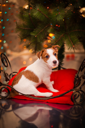 Dog Jack Russell Terrier at the Christmas tree, fireplace on a holiday Standard-Bild