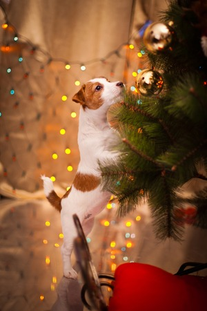 Dog Jack Russell Terrier at the Christmas tree, fireplace on a holiday Archivio Fotografico