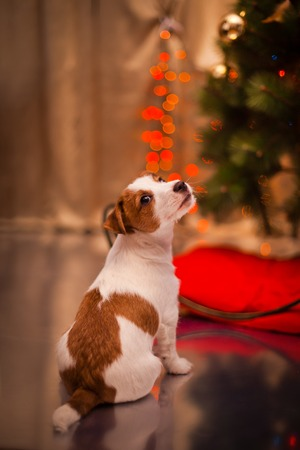 Dog Jack Russell Terrier at the Christmas tree, fireplace on a holiday Banco de Imagens