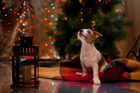 Dog Jack Russell Terrier at the Christmas tree, fireplace on a holiday Stock Photo
