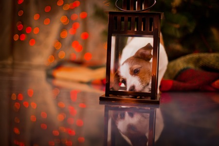 Dog Jack Russell Terrier at the Christmas tree, fireplace on a holiday photo