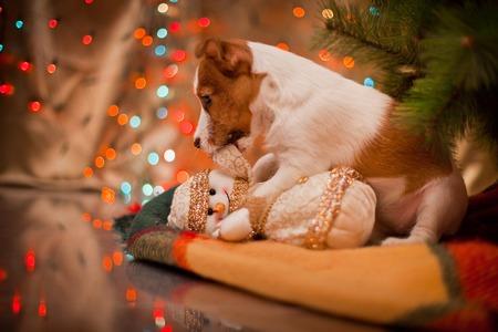Dog Jack Russell Terrier bij de kerstboom, open haard op vakantie Stockfoto