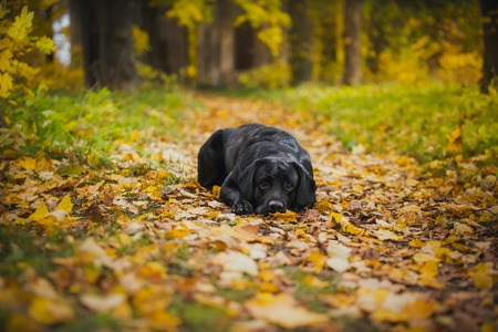 vintage Autumn black dog labrador nature, obedient photo