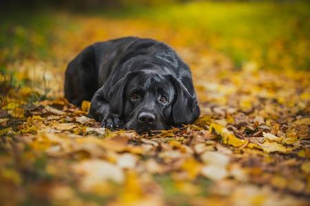 vintage herfst zwarte hond labrador natuur, gehoorzaam
