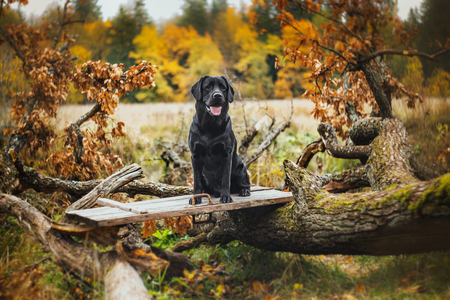 vintage Autumn black dog labrador nature, obedient