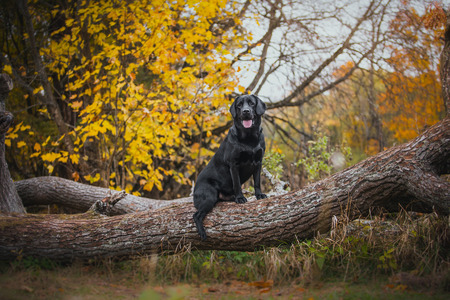 vintage Autumn black dog labrador nature, obedient