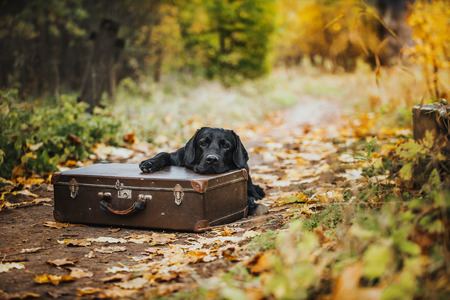 vintage Autumn black dog labrador nature, obedient photo