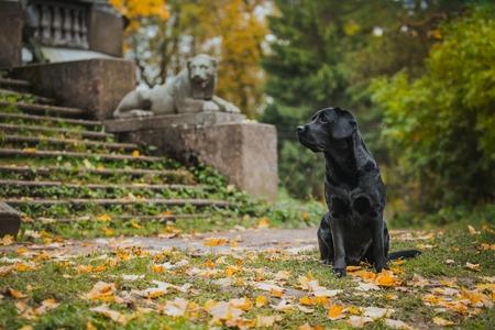vintage Autumn black dog labrador nature, obedient Stock Photo - 33008092