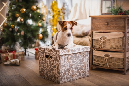 Jack Russell dog near the Christmas tree