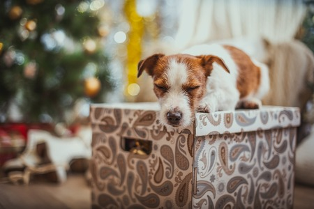 pet new years new year pup: Jack Russell dog at the Christmas tree