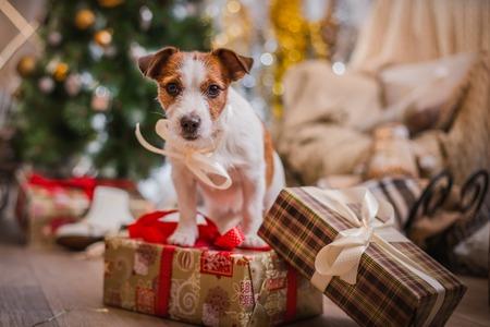 Jack Russell hond bij de kerstboom Stockfoto