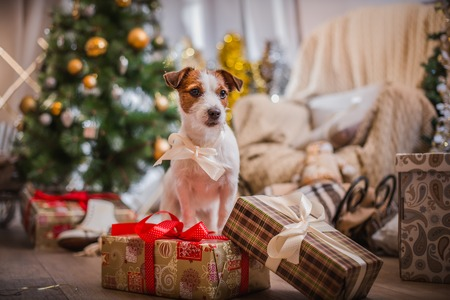 Jack Russell dog at the Christmas tree 2015 photo
