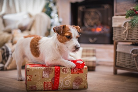 pet new years new year pup: Jack Russell dog at the Christmas tree 2015 Stock Photo