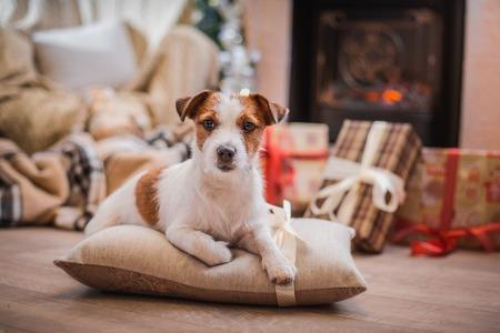 Jack Russell hond bij de kerstboom 2015
