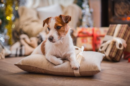 Jack Russell dog at the Christmas tree 2015 Standard-Bild