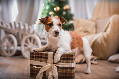 Jack Russell dog at the Christmas tree 2015 스톡 콘텐츠