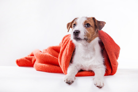 Dog Jack Russell Terrier in red towel