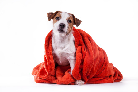 Dog Jack Russell Terrier in red towel photo