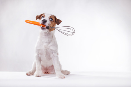 Dog Jack Russell Terrier holds in teeth photo