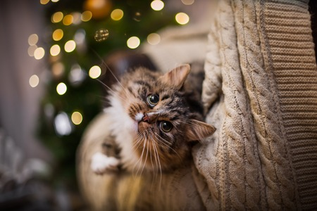 Tabby cat plays at the Christmas tree, Christmas holidays photo