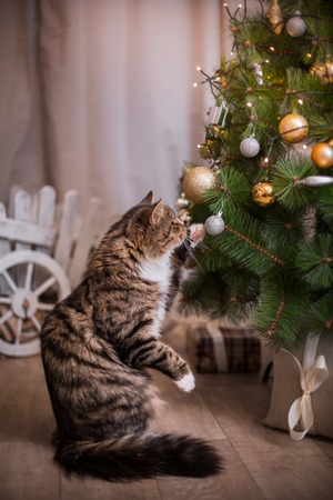 grey cat: Tabby cat plays at the Christmas tree, Christmas holidays
