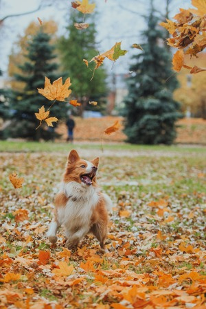Border Collie dog breed in the park in autumn 스톡 콘텐츠