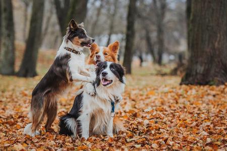 Border Collie hondenras in het park in de herfst