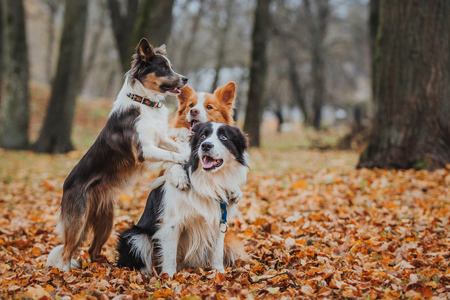 Border Collie dog breed in the park in autumn Banque d'images